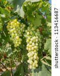grapes in a vineyard | Shutterstock . vector #113416687