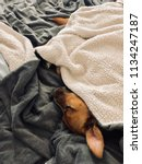 sleeping dog snuggled up on bed ... | Shutterstock . vector #1134247187