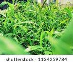 new born grasses  | Shutterstock . vector #1134259784