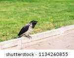 black crow walks on border near ... | Shutterstock . vector #1134260855