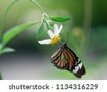 butterfly feeding from a pollen ... | Shutterstock . vector #1134316229