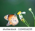 butterfly feeding from a pollen ... | Shutterstock . vector #1134316235