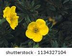 yellow flowers potentilla... | Shutterstock . vector #1134327104