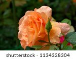 a beautiful creamy tea hybrid... | Shutterstock . vector #1134328304