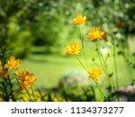 chinese globeflowers  trollius...   Shutterstock . vector #1134373277