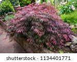 Red Foliage Of The Weeping...