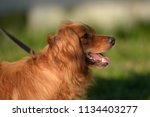red haired english cocker... | Shutterstock . vector #1134403277