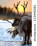 Northern Deer Are In Harness O...