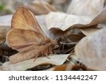 The drinker moth  euthrix...
