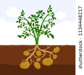 potato with leaves and roots in ... | Shutterstock .eps vector #1134448217