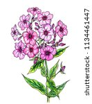 blooming pink phlox  watercolor ... | Shutterstock . vector #1134461447