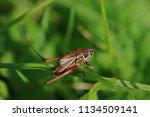 Big Brown Grasshopper On A...