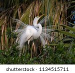 great egret in breeding plumage  | Shutterstock . vector #1134515711