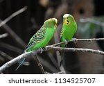 Pair Of The Green Budgerigars ...