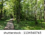 birch tree forest in spring at...   Shutterstock . vector #1134560765
