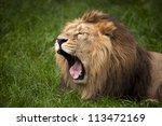 Lion Yawn Close Up Against...