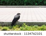 black crow walks on border near ... | Shutterstock . vector #1134762101