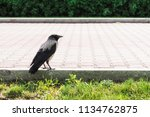 black crow walks on border near ... | Shutterstock . vector #1134762875