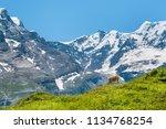 cow on alpine meadow....   Shutterstock . vector #1134768254