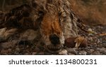 a dead and decayed coyote  ... | Shutterstock . vector #1134800231