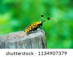 common tuft bearing longhorn... | Shutterstock . vector #1134907379