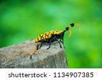 common tuft bearing longhorn... | Shutterstock . vector #1134907385