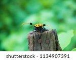 common tuft bearing longhorn... | Shutterstock . vector #1134907391