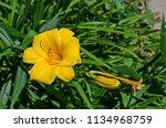 Small photo of Flowering Yellow Day lily flower or Hemerocallis Stella de Oro in the garden, Sofia, Bulgaria