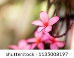 plumeria flower pink the most... | Shutterstock . vector #1135008197