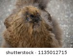 the silkie  sometimes spelled... | Shutterstock . vector #1135012715