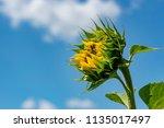 sunflower field. sunflower with ... | Shutterstock . vector #1135017497