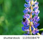 lupinus perennis in sunset... | Shutterstock . vector #1135038479