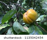 persimmon green and yellow | Shutterstock . vector #1135042454