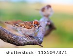 sparrows are sitting on a... | Shutterstock . vector #1135047371