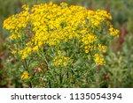 closeup of a yellow blooming...   Shutterstock . vector #1135054394