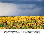sunflower field against a... | Shutterstock . vector #1135089401