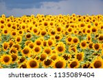 sunflower field against a... | Shutterstock . vector #1135089404
