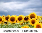 sunflower field against a... | Shutterstock . vector #1135089407