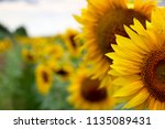 sunflower in sunlight against... | Shutterstock . vector #1135089431