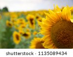 sunflower in sunlight against... | Shutterstock . vector #1135089434