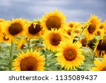 sunflower field against a... | Shutterstock . vector #1135089437