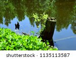 pond with vegetation and stump. ... | Shutterstock . vector #1135113587