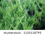 fresh green cypress tree... | Shutterstock . vector #1135118795