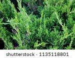 fresh green cypress tree... | Shutterstock . vector #1135118801