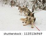 resting husky dogs in harnessed ... | Shutterstock . vector #1135136969