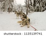 Resting Husky Dogs Harnessed In ...