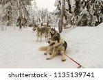 resting husky dogs harnessed in ... | Shutterstock . vector #1135139741