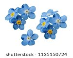 blue forget me not spring... | Shutterstock .eps vector #1135150724