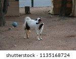 beautiful mammal goat | Shutterstock . vector #1135168724