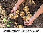 organic homemade vegetables in... | Shutterstock . vector #1135227605
